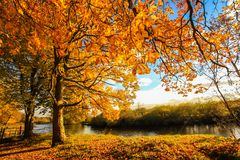 Golden Autumn Trees at the river in Scotland. Beautiful, golden autumn scenery with trees and golden leaves in the sunshine in Scotland royalty free stock images