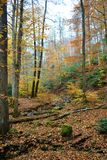 Golden Autumn in the woods Royalty Free Stock Image