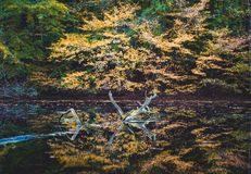 Golden autumn. Yellow colored trees reflected in a small pond stock photography
