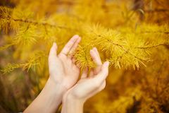 Golden autumn with yellow trees in the forest. Tree with yellow larch needles in the hands of women, autumn came. Wonderful autumn. Mood Royalty Free Stock Photos