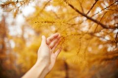 Golden autumn with yellow trees in the forest. Tree with yellow larch needles in the hands of women, autumn came. Wonderful autumn. Mood Stock Images
