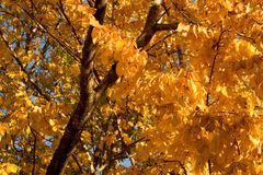 Golden Autumnal foliage. Closeup of golden Autumnal foliage in Cork Elm trees royalty free stock photos