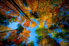 Golden Autumnal Trees In The Forest, Nature Stock Images