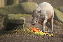 Golden babirusa Stock Image