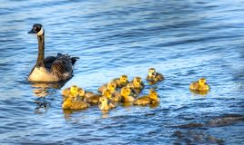 Golden baby geese swimming with their proud mother in the Chesapeake Bay in springtime. Flock of adorable golden baby geese during Spring swimmimg with their stock image