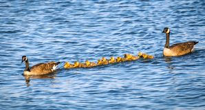 Golden baby geese swimming with their proud parents in the Chesapeake Bay in springtime. Flock of adorable golden baby geese during Spring swimmimg with their royalty free stock image