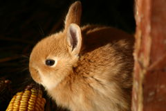 Golden Baby Rabbit. Two month old domestic baby rabbit born of a Pacific Northwest grey rabbit and an English Spot Stock Images