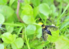 Golden Backed Snipe Fly Royalty Free Stock Photo
