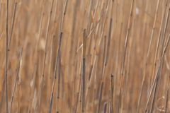 Dry reed stems stock images