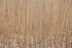 Dry reed stems stock photography