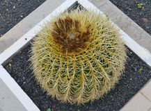 The Golden ball or barrel cactus Royalty Free Stock Photos