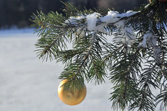 The Golden ball on a branch of the Christmas tree. Royalty Free Stock Image