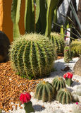 Golden ball cactus Stock Images