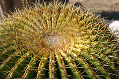 Golden ball cactus Royalty Free Stock Images