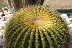 Golden ball cactus. Close up royalty free stock photography