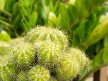 Golden ball cactus. Closeup background of group of Golden ball cactus or Echinopsis cactus plants. Macro photograp of green cactus in a flower pot stock photos