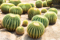Golden ball cactus. The golden ball cactus in the deserts glasshouse royalty free stock image