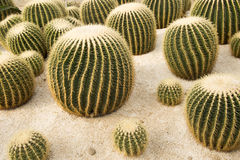 Golden ball cactus Stock Photos