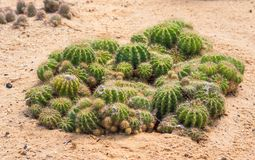 Golden ball cactus. In plant nursery royalty free stock photography