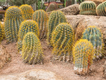 Golden ball cactus. In plant nursery royalty free stock image