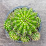 Golden ball cactus. In plant nursery stock photos