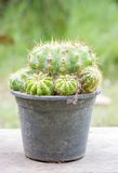 Golden ball cactus. In plant nursery stock image