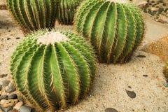 Golden ball cactusEchinocactus grusonii in the Desert Garden.  royalty free stock image