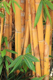 Golden bamboo Stock Photos