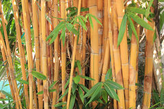 Golden bamboo Royalty Free Stock Image