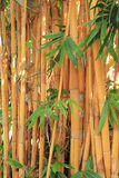 Golden bamboo Stock Image
