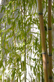 Golden Bamboo Royalty Free Stock Images