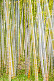 The golden bamboo forest Royalty Free Stock Photography