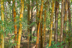 Golden bamboo Stock Images