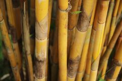 Golden Bamboo Hedge Royalty Free Stock Images