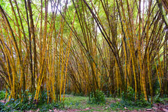 Golden bamboo in Kauai Island Royalty Free Stock Image