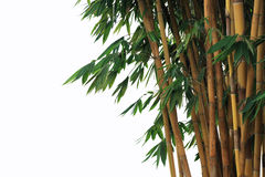 Golden bamboo. With leaves isolated on white background Royalty Free Stock Photo
