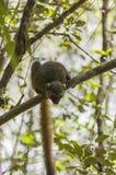 Golden Bamboo Lemur. A Golden Bamboo Lemur (Hapalemur aureus) sitting on a branch Royalty Free Stock Photo