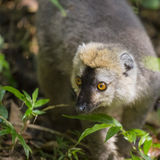 Golden bamboo lemur close up portrait in Madagascar Royalty Free Stock Images
