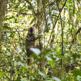 Golden bamboo lemur with curious eyes in a rain forest Royalty Free Stock Photos