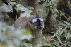 Golden bamboo lemur on a green forest in Madagascar Stock Images