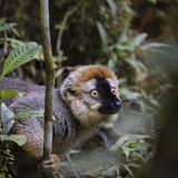 Golden bamboo lemur on a green forest in Madagascar Royalty Free Stock Photos