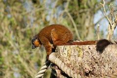 Golden Bamboo Lemur - Hapalemur aureus Royalty Free Stock Images
