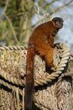 Golden Bamboo Lemur - Hapalemur aureus Stock Image