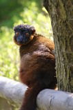 Golden Bamboo Lemur - Hapalemur aureus Royalty Free Stock Photography