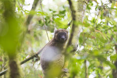 Golden bamboo lemur lying on a tree in Madagascar Royalty Free Stock Photography