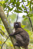 Golden bamboo lemur lying on a tree in Madagascar Royalty Free Stock Image