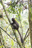 Golden bamboo lemur lying on a tree in Madagascar Stock Photo