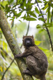 Golden bamboo lemur lying on a tree in Madagascar Royalty Free Stock Images