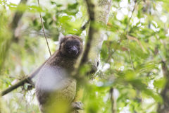 Golden bamboo lemur lying on a tree in Madagascar Royalty Free Stock Photo