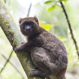 Golden bamboo lemur lying on a tree in Madagascar Stock Photos